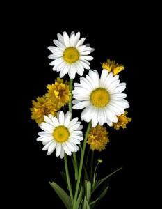 Three Daisies Three