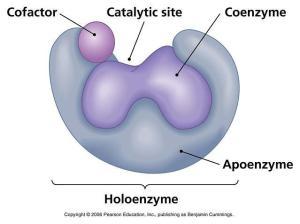 holoenzim
