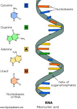 RNA yapısı