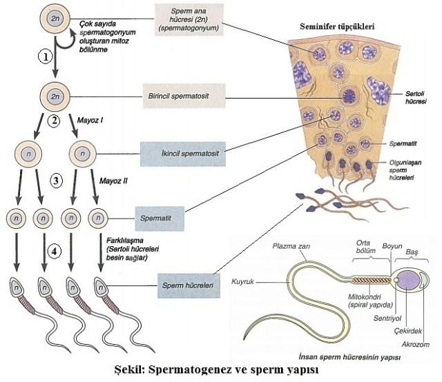 spermatogenez