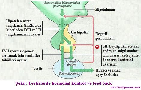 testislerde hormonal kontrol