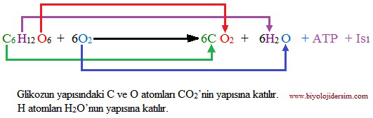 oksijenli solunumda  C, H ve O2 takibi