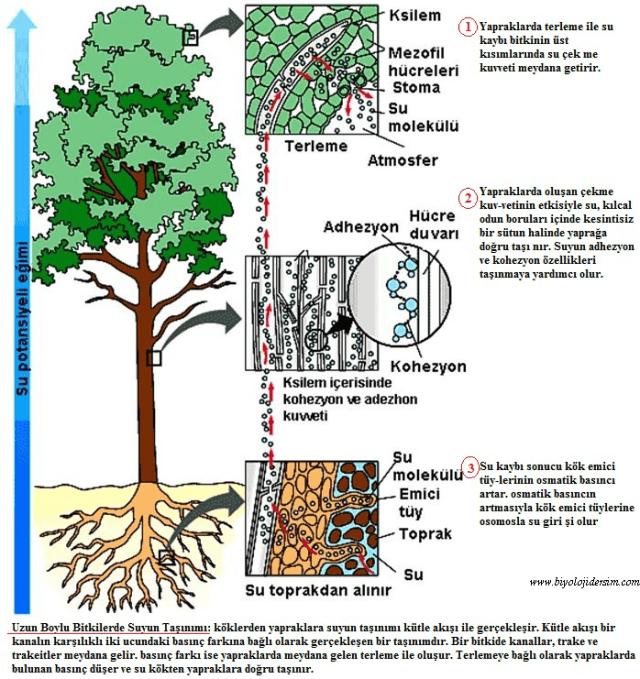 bitkilerde suyuntaşınması