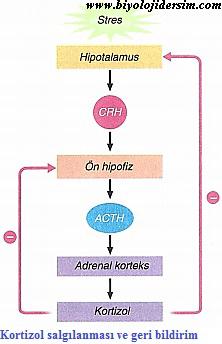 kortizol hormonu