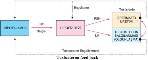 erkek üreme hormonları