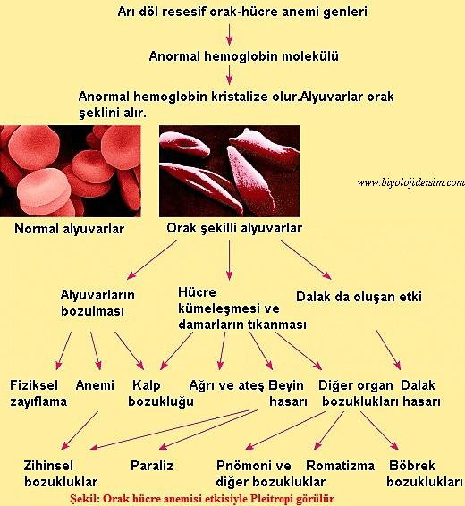 pleitropi