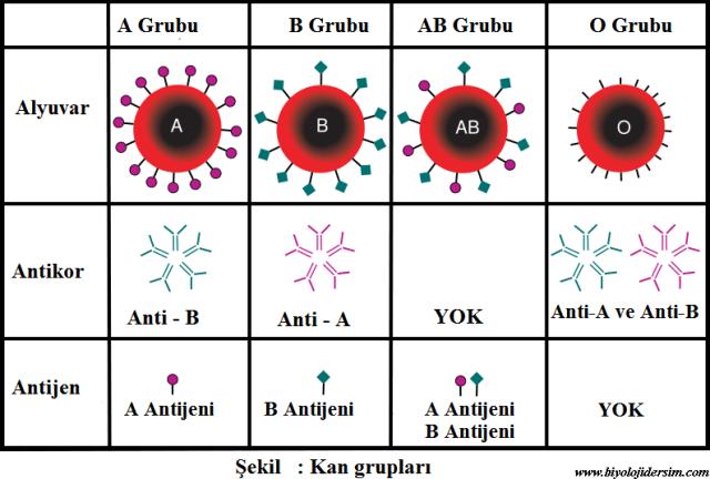 kan gruplarını belirleyen antijenlerdir