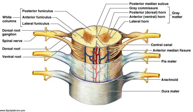 omurilik yapısı