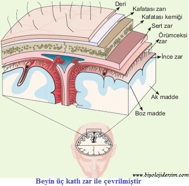 beyin zarları meninges