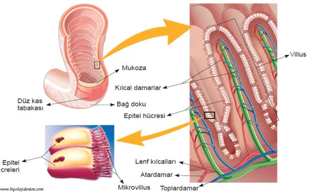 villus ve mikrovilluslar