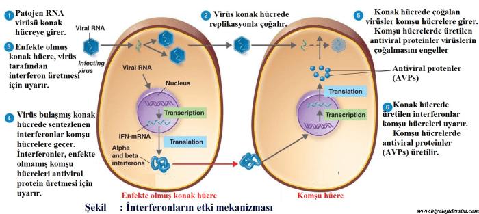 interferonların etkisi