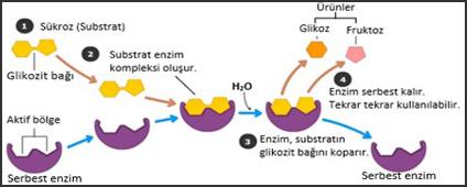enzim ile ilgili görsel sonucu