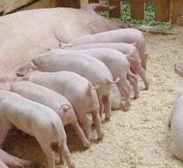 """După """"isteria"""" pestei porcine, un document ținut secret pregătește interzicerea creşterii porcilor în gospodării de către populație"""