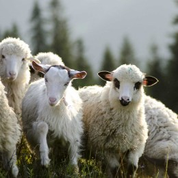 Crescătorii de oi majorează preţul mieilor înainte de Paşte
