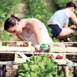 Se caută căpșunari pentru Danemarca