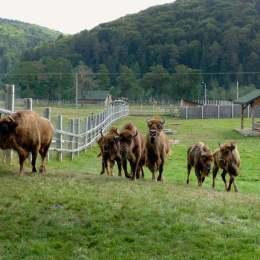 Primăria din Vama Buzăului dă drumul la zimbri în pădure, fiindcă nu mai are loc pentru toți în rezervație