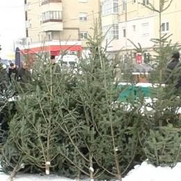 Brazii din pepiniera RLP Kronstadt costă 10, 30 și 50 de lei. Aceștia vor ajunge în piețe în 15 decembrie