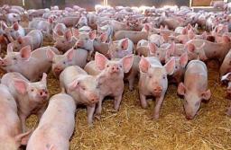 O firmă brașoveană, al treilea crescător de porci din România