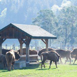 Doi zimbri din Vama Buzăului, eliberați în pădurile din Neamț. În rezervația din județul Brașov sunt acum 27 de exemplare
