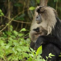 Zoo Brașov a primit locatari noi: șapte macaci și opt colobus. Deocamdată, animalele sunt în carantină