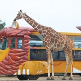 Autobuzul care va oferi o experiență ca în safari, la Zoo Brașov, va fi livrat de o firmă din Iași, în schimbul a 577.000 de lei