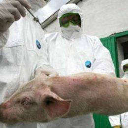 Carnea și porcii la control, în zona Săcele-Tărlungeni-Budila. La nevoie, se vor instala și filtre de poliție pe șosele