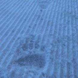 """Pârtiile din Poiană sunt în condiții foarte bune pentru schi. Un urs… le-a """"încercat"""" deja"""