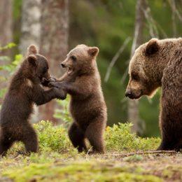 VIDEO Două clipuri filmate în România despre carnivorele mari ale Europei au fost lansate astăzi. Modalități de conviețuire pașnică între oameni și animale