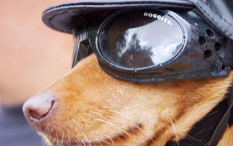 Doggles-wearing dog