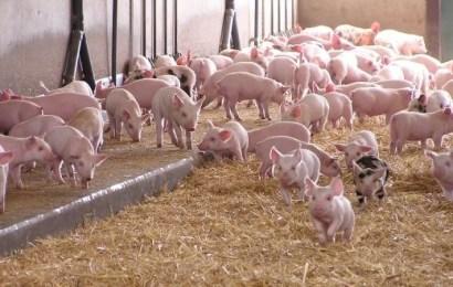 Sprijin financiar de la stat pentru crescătorii de porci