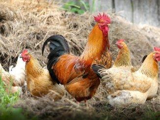 Păsări de curte. FOTO klimkin