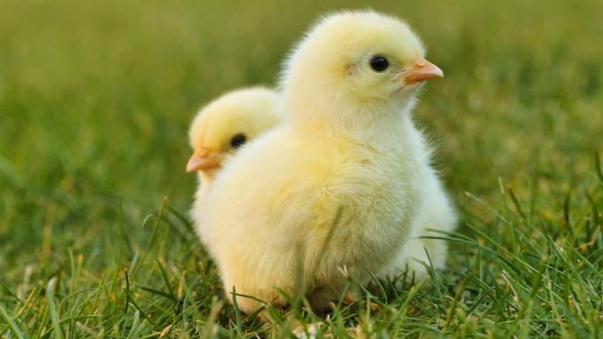 Pui de găină. FOTO Lolame