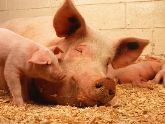 Porci crescuți în România. FOTO PublicDomainImages