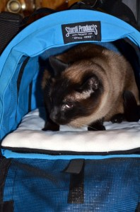 Cat Linus gets used to pet carrier before travelling