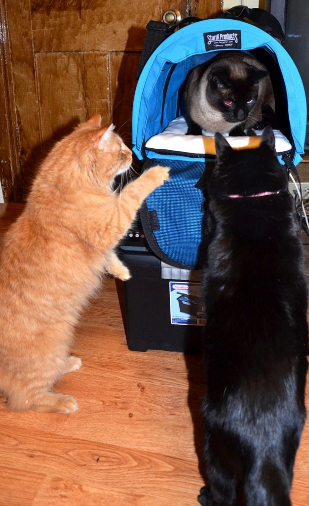 Cats should get used to the pet carrier before going on vacation.