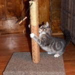 Baby Kitty Lenny plays with the new scratching post