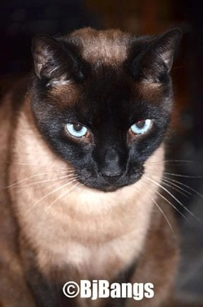 The Siamese kitty Linus