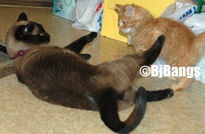 Cats wrestling