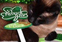 Siamese cat with shamrock