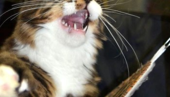 This Maine Coon cat shows why he's so special.