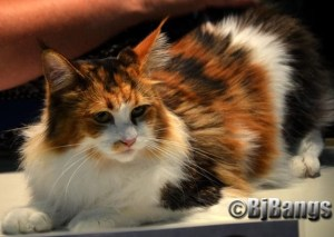 calico coon cat.