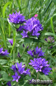 Blue Bell flowers provide smells for cats not found inside.