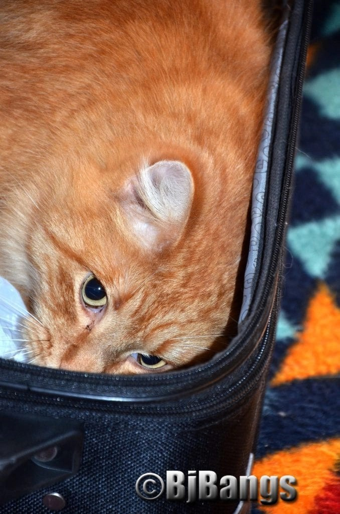 Kitty squishes in to make sure there's room in the suitcase for him.