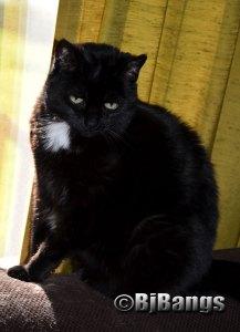 Celebrating Black Friday with my black feline, Pink Collar