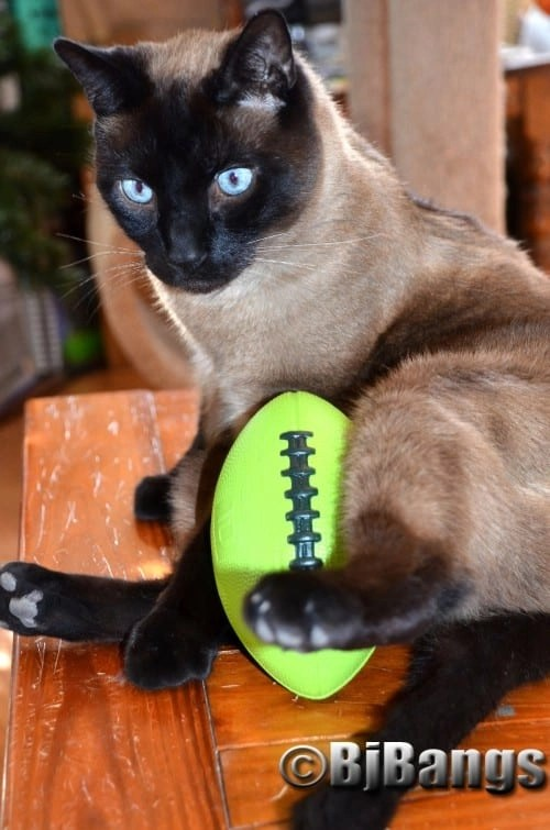 Time out to regroup for a winning strategy for this kitty football player.