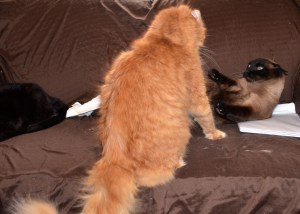 KPaws think he's the winner, but Siamese Linus thinks differently