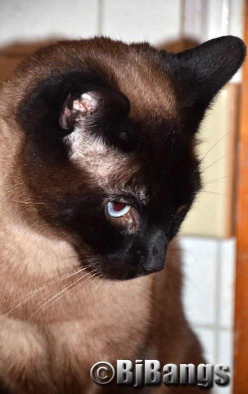 My selfie shows just what a handsome Siamese cat I am