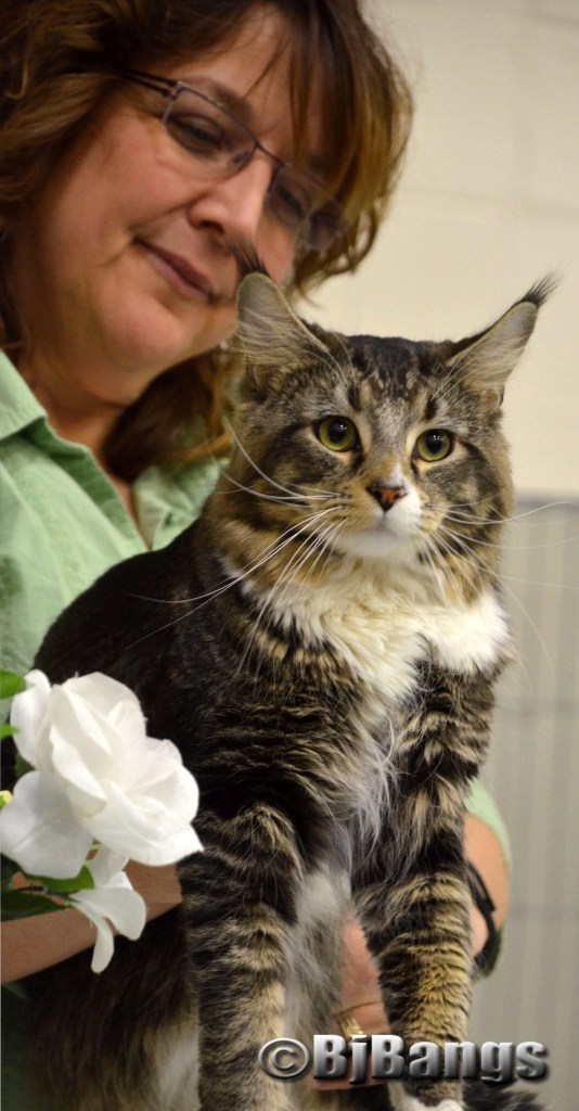 Handsome Maine Coon at NauTICAts Cat Show