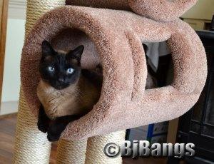 Siamese Cat Linus is lots better than having kids