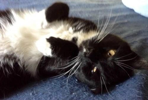 Happy Tuxedo Cat